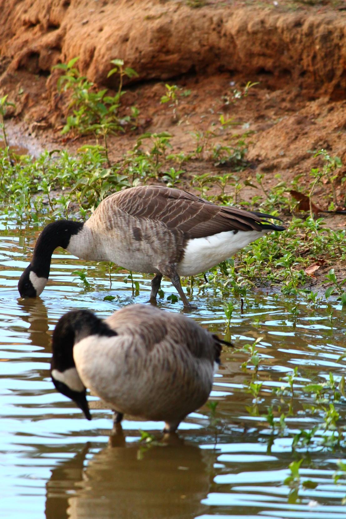 The Feeding Geese